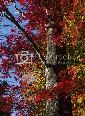 Árvore - Acer Palmatum